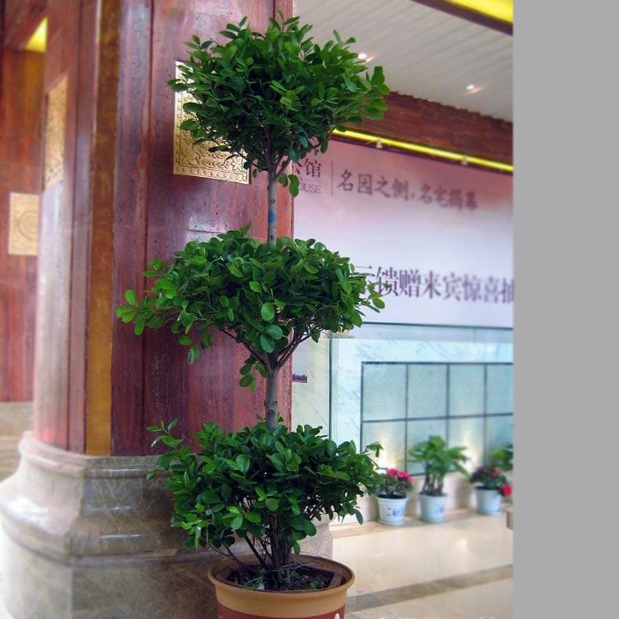 三层摇钱树-家庭阳台盆栽观赏植物出租