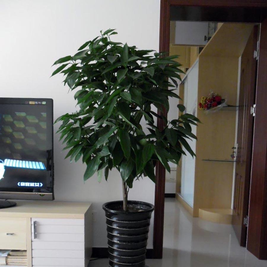 平安树-室大型绿色植物重庆租摆肉桂树