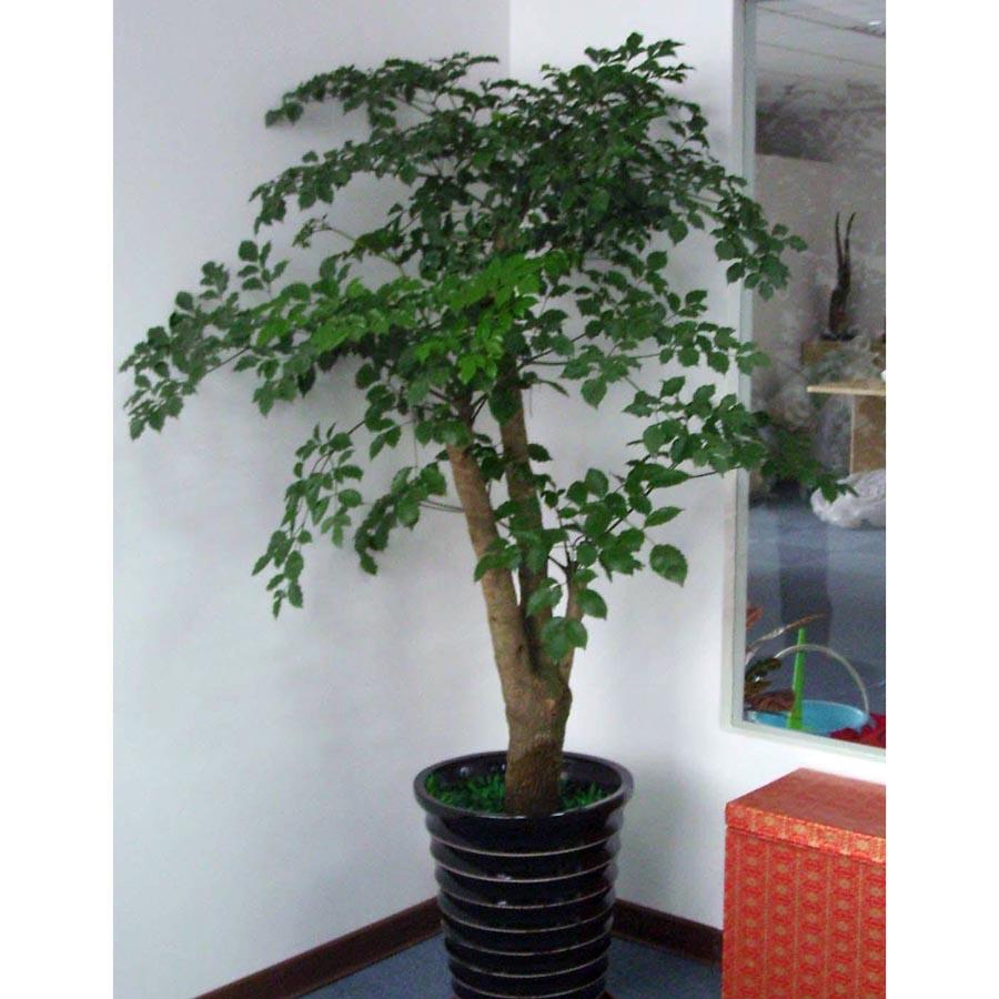 多枝大幸福树-办公室植物重庆网上购买