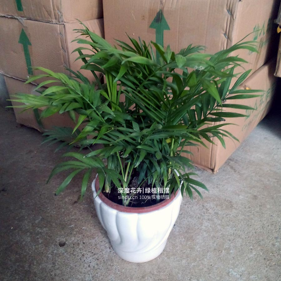 小盆袖珍椰子-室内外耐养盆栽花卉